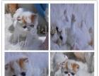 多年养猫经验 繁殖更纯种 银渐层 蓝猫 蓝白 矮脚