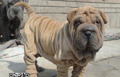 沙皮犬幼犬出售血统纯正健康保证皱皮 超可爱沙皮犬