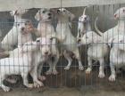 哪里出售杜高犬 杜高犬 价格 杜高犬健康