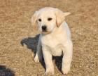 兰州纯种拉布拉多价格 兰州哪里能买到纯种拉布拉多犬