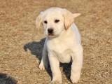 拉萨纯种拉布拉多犬多少钱 在拉萨什么地方能买到纯种拉布拉多犬