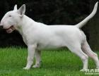 国内顶级牛头梗 梗类犬之王 冠军血统 签合同质保