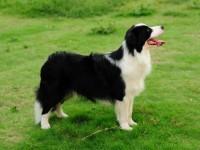 纯种边境牧羊犬 边牧幼犬 品质好 血统保证