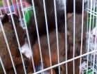 魔王黄山红腹雪地松鼠,龙猫刺猬貂宠物出售