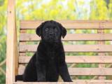 上海嘉定大骨架拉布拉多幼犬一般多少钱