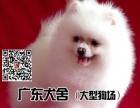 广东犬舍大型狗场——博美犬——博美犬——健康纯种博美犬出售
