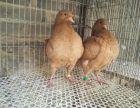 海北精品黄元宝鸽子多少钱一对