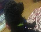 黑色纯种泰迪犬
