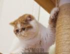 《加菲猫》宠物猫活体加菲猫纯种幼猫加菲猫蓝白幼猫