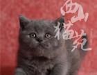 英短幼猫出售