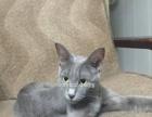 俄罗斯蓝猫精品一窝哦,爸妈眼睛很绿