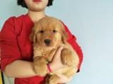 金毛犬专业繁殖 基地直销 可实地挑选 品质保证