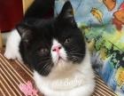 4个月加菲猫出售
