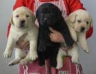 重庆纯血统多只挑选 大头 品质高拉布拉多幼犬出售健康纯