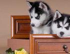 出售哈士奇幼犬 超酷三火蓝眼 健康品质保证