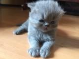 售纯种 波斯猫 健康有保障疫苗做齐售后签协议质保三年