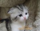 美短加白猫折耳猫 蓝白折耳猫咪宠物猫活体 折耳幼猫