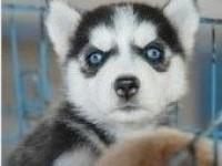 好狗不多 喜欢的抓紧 自家繁殖阿拉斯加