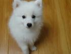 家养一窝纯种银狐犬宝宝出售,包健康纯种