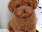 纯种可爱泰迪熊包健康包纯种出售 可签协议 欢迎上门