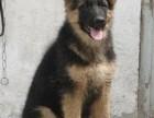苏州德国牧羊犬幼犬多少钱一只苏州哪里有卖德牧 德牧价格