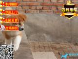 日系秋田犬宝宝 尊贵品质 高端伴侣犬 护卫犬