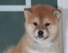 纯种秋田犬 做好了疫苗 纯种健康欢迎上门挑选