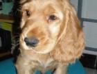 养殖基地出售活泼可爱的可卡品相纯种可卡幼犬,保健康包纯种