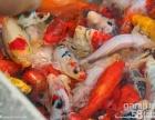 低价出售观赏鱼(锦鲤)