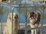 出售全新1107495笼具金毛拉布拉多萨摩