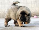 高加索犬 我们更专业 欢迎挑选来基地挑选