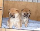 日系顶级柴犬 疫苗齐全 公母俊介 柴犬价格 柴犬成年多大
