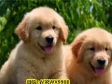 kch90茶杯玩具型红色泰迪犬贵宾宠物狗狗幼犬泰迪幼犬出售