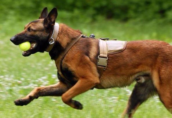 专业养殖纯种马犬 德国牧羊犬 保健康 价格优惠 欢迎选购
