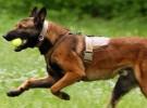 专业犬舍养殖 纯种健康马犬 可上门看狗 全国发货