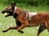 曲靖纯种马犬养殖 品相好 包健康 可上门选狗