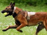 狗场常年出售马犬 科目马犬 还有德牧 杜高等多个品种欢迎咨询
