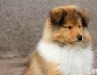 【上门优惠】家养纯种苏格兰牧羊犬宝宝找新家,包健康