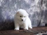 芜湖哪里有宠物狗卖萨摩耶 的天使般的笑容萨摩耶宝宝