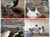 精品观赏鸽 肉鸽 元宝鸽 元宝鸡 常年供应