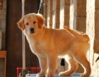 本地出售双血统大骨架金毛幼犬 可看父母