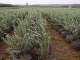 湖北蓝莓苗木批发 南方蓝莓有售