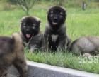 西安精品宠物繁殖基地长期出售高加索幼犬 保证品质健康