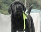 出售赛级精品拉布拉多犬 保纯种健康 你值得拥有