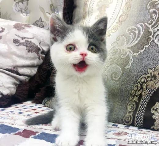 江门哪里有卖蓝白猫咪,价格都是多少的健康的