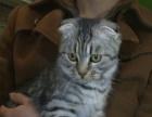 银渐层折耳猫