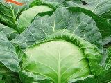 甘蓝 基地直供 新鲜蔬菜
