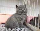 猫舍繁殖蓝猫宝宝出售,急,价不高要的快来!
