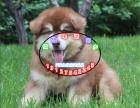 出售纯种阿拉斯加幼犬 熊版阿拉斯加 签协议保健康