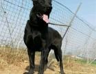 猎犬养殖出售纯种格力犬惠比特犬灵缇犬全活猎兔犬幼犬抓兔能手